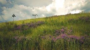 Фиолетовые острова цветков луга стоковые фотографии rf