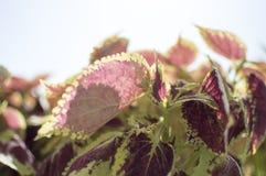 Фиолетовые прозрачные листья и другие зеленые лист Стоковое Изображение RF