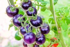 Фиолетовые томаты heirloom на лозе в саде стоковая фотография