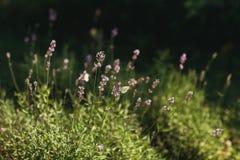 Фиолетовые травы на поле Стоковое фото RF