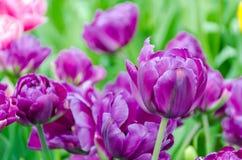 Фиолетовые тюльпаны, весной, под ярким солнцем в саде Keukenhof-Lisse, Голландия Стоковое Фото