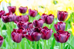 Фиолетовые тюльпаны, весной, под ярким солнцем в саде Keukenhof-Lisse, Голландия Стоковые Фото