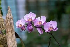 Фиолетовые цветения орхидеи растя в саде Стоковые Изображения RF