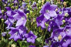Фиолетовые цветки баллона Стоковое Фото