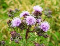 Фиолетовые цветки в луге, Литве Стоковые Фото