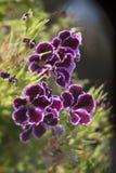 Фиолетовые цветки в саде Стоковое Фото