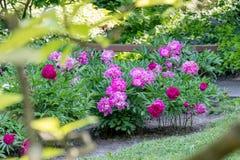 Фиолетовые цветки в японском саде стоковое фото rf