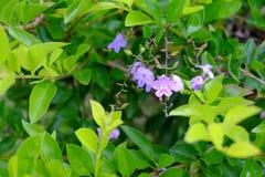 Фиолетовые цветки золота и зеленых свечей dewdrop золотистый стоковое изображение