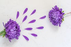 Фиолетовые цветки и лепестки на белой предпосылке Стоковое Изображение
