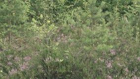 Фиолетовые цветки и молодая ель сток-видео