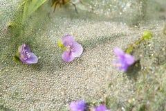 Фиолетовые цветки и падения росы стоковое изображение