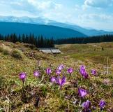 Фиолетовые цветки крокуса на горе весны Стоковые Фото