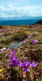 Фиолетовые цветки крокуса на горе весны Стоковое Изображение RF