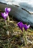 Фиолетовые цветки крокуса на горе весны Стоковые Изображения RF