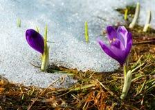 Фиолетовые цветки крокуса на горе весны Стоковое Фото