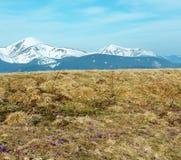 Фиолетовые цветки крокуса на горе весны Стоковое фото RF