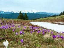 Фиолетовые цветки крокуса на горе весны Стоковая Фотография RF