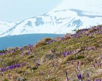 Фиолетовые цветки крокуса на горе утра весны Стоковая Фотография RF