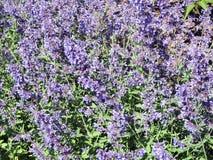 Фиолетовые цветки лаванды в саде, Литве Стоковое Изображение