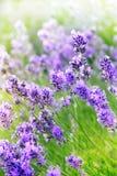 Фиолетовые цветки лаванды летнего времени Стоковая Фотография RF