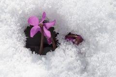 Фиолетовые цветки на лужайке сада делают их путь из-под холодного белого снега Стоковое фото RF