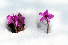 Фиолетовые цветки на лужайке сада делают их путь из-под холодного белого снега Стоковая Фотография RF
