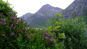 Фиолетовые цветки на предпосылке гор Вереск пошатывает в конце-вверх ветра акции видеоматериалы