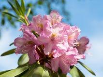 Фиолетовые цветки рододендрона Стоковое Фото
