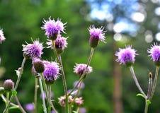 Фиолетовые цветки с естественной запачканной предпосылкой Стоковая Фотография RF