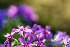 Фиолетовые цветки флокса закрывают с запачканной предпосылкой Стоковая Фотография RF