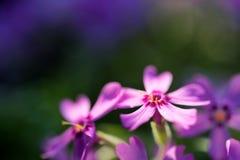 Фиолетовые цветки флокса закрывают с запачканной предпосылкой Стоковые Фотографии RF