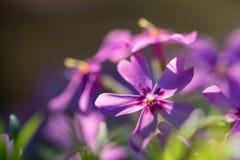 Фиолетовые цветки флокса закрывают с запачканной предпосылкой Стоковые Изображения RF