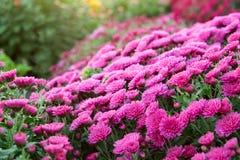 Фиолетовые цветки хризантемы на flowerbed стоковое фото