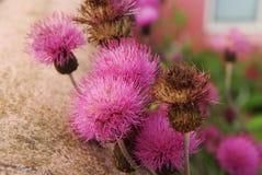 Фиолетовые цветки arctium как естественная предпосылка Лопух цветет цветение внешнее Флора и природа красотка естественная Весна Стоковые Фотографии RF