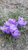 Фиолетовые croccuses стоковое изображение