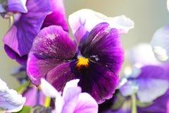 Фиолетовые pansies в саде Стоковое Изображение RF