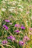 Фиолетовые shaggy цветки jacea василёка коричневеют knapweed на луге Стоковые Фото