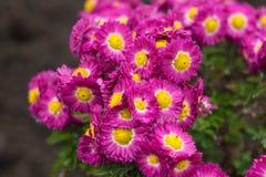 Фиолетовые wildflowers астры стоковое фото rf