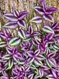 Фиолетовый бродяжничая завод еврея Стоковая Фотография RF