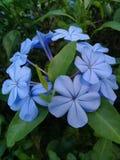 Фиолетовый голубой цветок Стоковые Фото