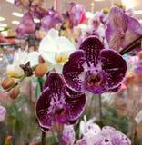 Фиолетовый дисплей орхидеи Стоковое Фото
