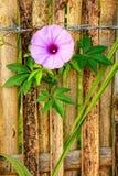 Фиолетовый завод плюща славы утра Стоковые Фотографии RF