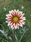 Фиолетовый зацветать цветков Gazania Стоковые Фото