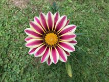 Фиолетовый зацветать цветков Gazania Стоковые Изображения RF