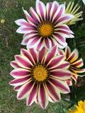Фиолетовый зацветать цветков Gazania Стоковое Изображение RF