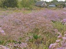 Фиолетовый злаковик wildflower Стоковая Фотография RF