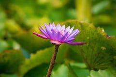 Фиолетовый или фиолетовый цветок лотоса в пруде Стоковое Изображение