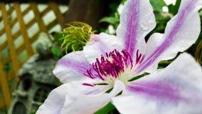 Фиолетовый и белый Clematis - Нелли Moser стоковая фотография