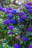 Фиолетовый и голубой крупный план 2 цветений гортензии Стоковые Изображения