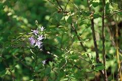 Фиолетовый колокольчик в лесе Фонтенбло стоковые фото